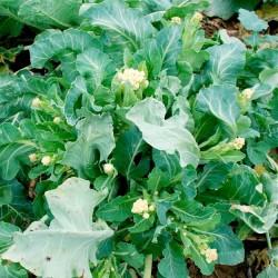 Dianthus caryophyllus 'Chabaud bianco', Carnation