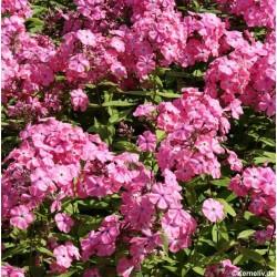 Buskbønne 'Purple Teepee'
