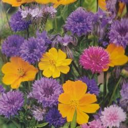 Scabiosa atropurpurea 'St George', Pincushion Flower