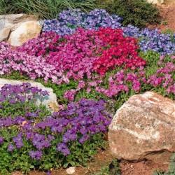Dahlia variabilis 'Clangers Mix'