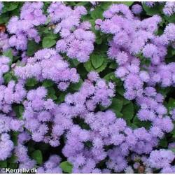 Ageratum houstonianum 'Blue...