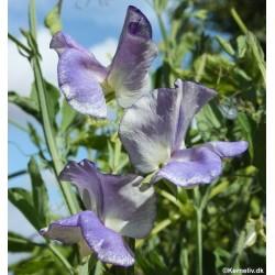 Lathyrus odoratus 'Blue...