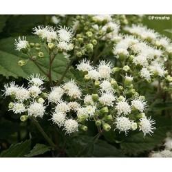 Eupatorium rugosum, White...