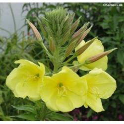 Oenothera glazioviana,...