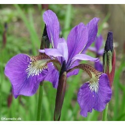 Iris sibirica 'New...