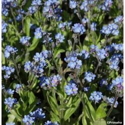 Myosotis alpestris 'Blue...