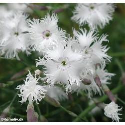 Dianthus arenarius,...