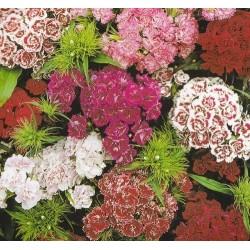 Dianthus barbatus...
