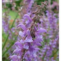 Salvia transsylvanica,...