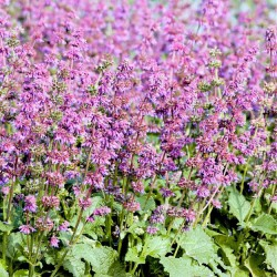 Salvia verticillata 'Purple...