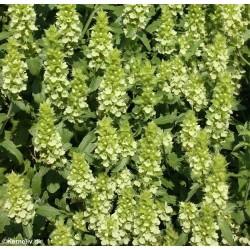 Sideritis hyssopifolia...