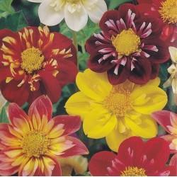 Dahlia variabilis 'Dandy',...