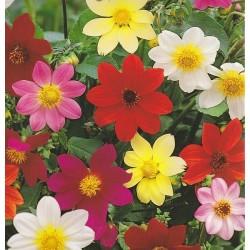 Dahlia variabilis 'Mignon',...