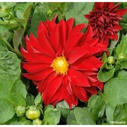 Dahlia variabilis 'Unwin's...