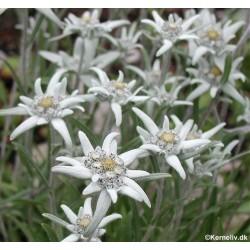 Leontopodium alpinum, Ægte...