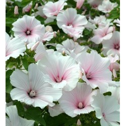 Lavatera trimestris 'Pink...