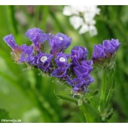 Limonium sinuatum 'Blue',...