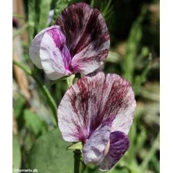 Lathyrus odoratus...