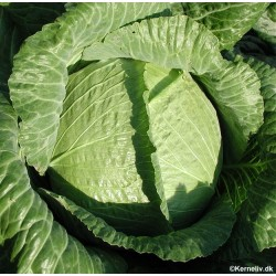 Cabbage, Winter 'Quintal...