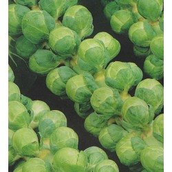 Brussels Sprout 'Groninger'