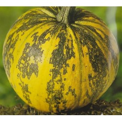 Pumpkin 'Gleisdorfer'