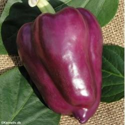 Sweet Pepper 'Oda'