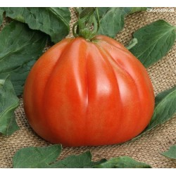 Tomato 'Red Pear'