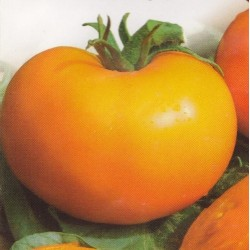 Tomato 'Orange'