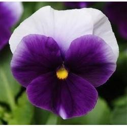 Viola x wittrockiana...