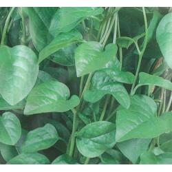 Malabar Spinach, Basella rubra