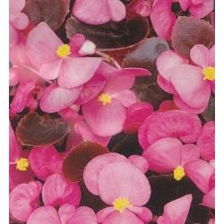 Begonia semperflorens 'Oreb...
