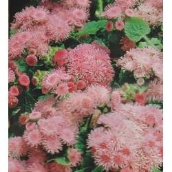 Ageratum houstonianum 'Pink...