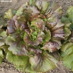 Lettuce, Picking 'Canasta'