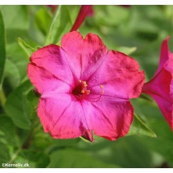 Mirabilis jalapa, Marvel of...