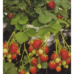 Strawberry 'Temptation F1'
