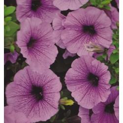 Petunia x hybrida 'Easy...
