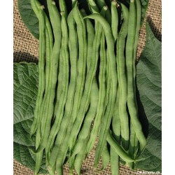 Climbing French Bean...