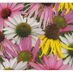 Echinacea 'Species...