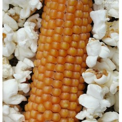 Majs, Popcorn