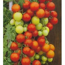 Tomato 'Bajaja'
