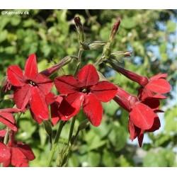 Nicotiana alata 'Crimson...