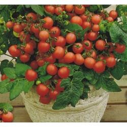 Tomato 'Vilma'