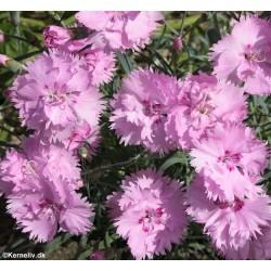 Dianthus plumarius fl. pl....