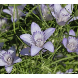 Nigella bucharica 'Blue Stars'