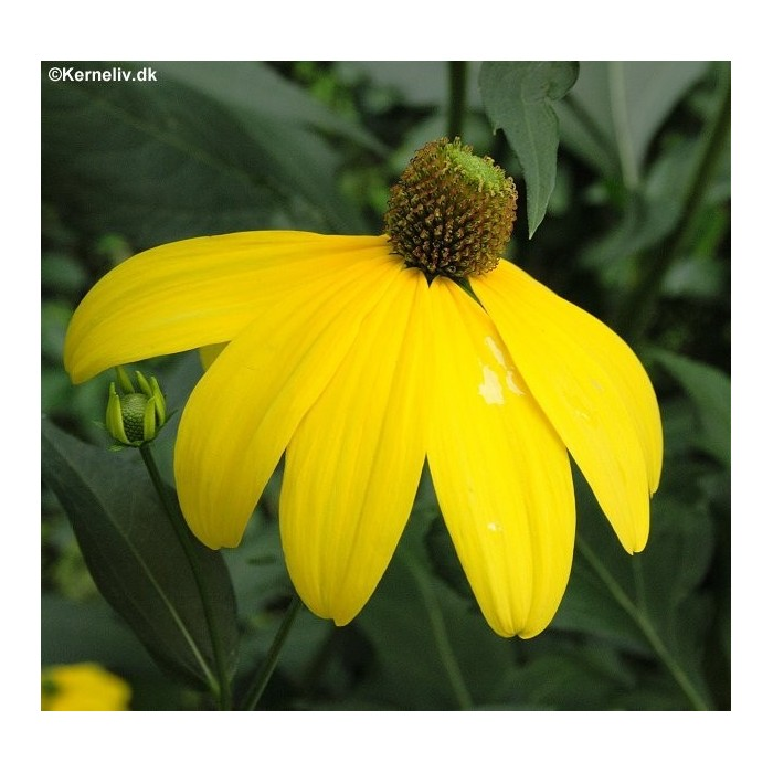 Ratibida pinnata yellow coneflower produces composite flowers with oval center disks and droopy yellow ray florets blooms from early summer to autumn excellent cut flower mightylinksfo