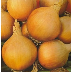 Bulb Onion 'Wolska'