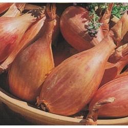 Banan-skalotteløg 'Zebrune'