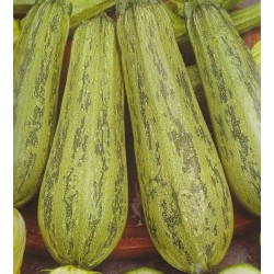 Courgette 'Nimba'