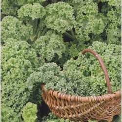 Grønkål 'Halbhoher grüner'