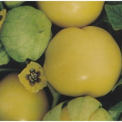 Tomatillo 'Amarylla'